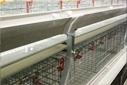肉鸡笼如何使用能提高肉鸡生长速率